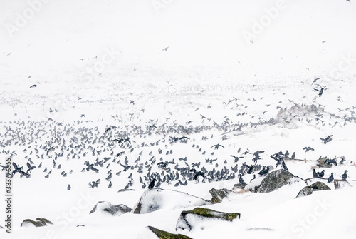Least Auklets (Aethia pusilla) at colony in early spring snowstorm at St Wallpaper Mural