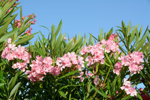 Oleander Is A Plant Native To ...