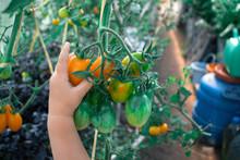 Person Picks A Yellow Tomato