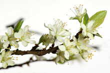Flowers Of A Plum Tree In The ...