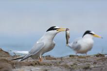 Little Tern. Bird In Spring. Sternula Albifrons