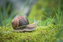 Burgundy Snail On The Moss
