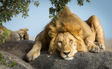 Male Lion Resting On A Big Bou...