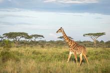 Adult Female Giraffe Walking T...