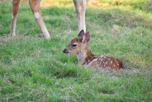 Two White-tailed Deer Fawns Bedded Down In An Open Meadow In A Zoo