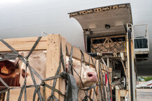 Livestock In Wooden Boxes Secured By Nettings Being Offloaded By A High-loader From The Lower Cargo Hold Of A Jumbo Jet