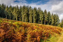 Autumn Coloured Bracken And Fir Trees In Exmoor National Park