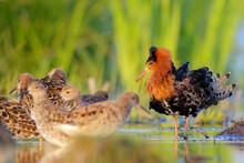Ruff, Bird In Breeding Plumage In Spring. Calidris Pugnax