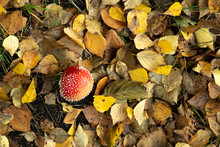 Poisonous Mushroom Fly Agaric Grows In The Autumn Forest Against The Background Of Foliage
