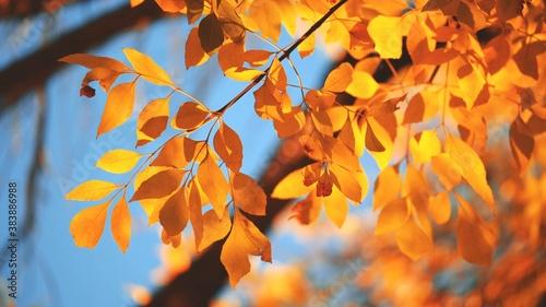 Obraz Yellow, red and orange tree leaves over blue sky background. Shallow DOF. - fototapety do salonu