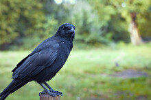 Large Black Crow Perched On A Fence Post Patiently In A Park
