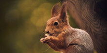 Red-haired Cute Squirrel Gnaws...
