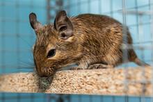 Little Cute Gray Mouse Degu Cl...