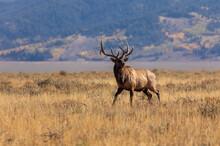 Bull Elk In Autumn In Wyoming
