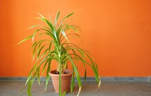 Plant In Pot On A Orange Wall