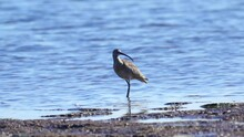 Bird - Eurasian Curlew ( Numenius Arquata ) Walks Along The Edge Of The Coast And In Shallow Water On A Sunny Autumn Day.