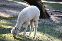 White Alpaca Eating Grass In T...