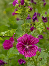 Purple Common Mallow Flowers With Dew Drops In The Garden - Malva Sylvestris