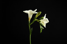 Beautiful White Freesia Flower...