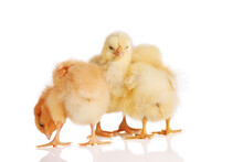 Three Chicks In A Group