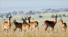 Group Of Antelopes The Impala.