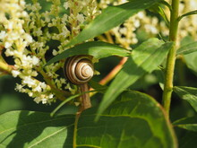 The White And Black Striped Snail (Cepaea) Hides From The Morning Sun. He Uses The Leaves Of Tall Grass As A Shelter.