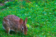 Eastern Cottontail Bunny Foraging Among Lush Grass And Wild Flowers.