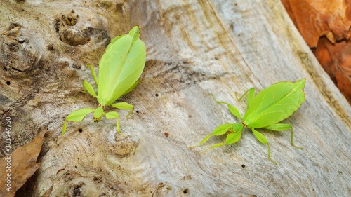 Two green leaflike stick-insects Phyllium giganteum interacting on a tree trunk фототапет