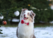 Portrait Of Cute Smiling Red Merle Australian Shepherd With Different Eyes.Sheepdog Outdoors With Merry Christmas And Happy New Year 2021 Decorations.White Funny Aussie Dog Outside On Snowy Winter Day