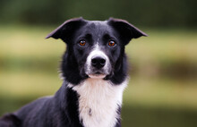 Sunset Portrait Of Beautiful Black And White Working Border Collie Female With Funny Ears And Amber Colored Eye. Adorable, Attentive, Beautiful Bi-black Smooth Haired Herding Border Collie Outside