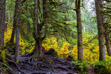 Spooky Tree And Scary Exposed Tree Roots In Mysterious Alaskan Rain Forest Near Girdwood, Alaska.