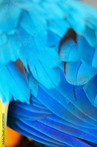 Blue and Gold Macaw feather