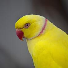 Yellow Indian Ring-necked Parakeet