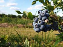 Beautiful Ripe Blueberry Fruit...