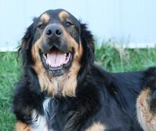 Bernise Mountain Dog