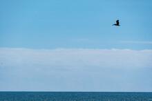 Minimalist Pelican Flight Over...