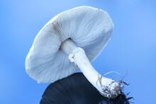 Large White Mushroom On Reflective Surface.;