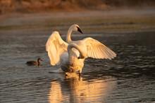 Trumpeter Swans (Cygnus Buccin...
