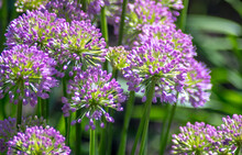 Spiky Purple Allium Flowers In...