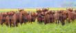 canvas print picture - European bison. Herd of wild animals in flowering meadow. Bison bonasus.