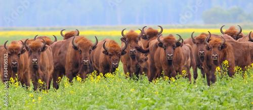 European bison Billede på lærred