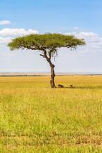 Single Acacia Tree And Resting Lions At The Savanna In Masai Mara