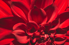 Dahlia Flower With Red And Whi...