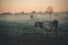 Cow In The Morning Mist