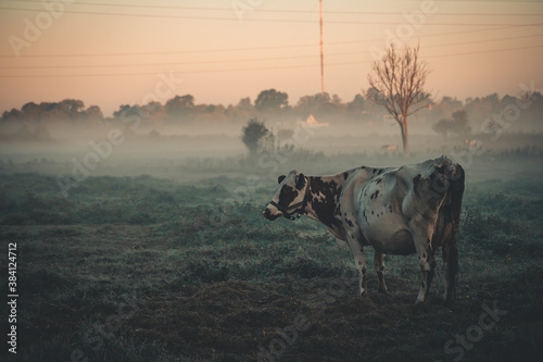 cow in the morning mist Wallpaper Mural
