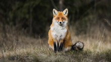 Calm Red Fox, Vulpes Vulpes, Sitting On Meadow In Autumn Nature. Tranquil Mammal With Orange Fur Looking To The Camera On Field In Fall. Wild Predator Watching On Grassland With Copy Space.