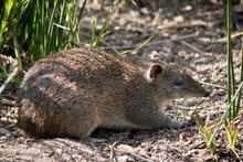 The Long Nosed Potoroo Looks Like A Rat But It Is A Marsupial