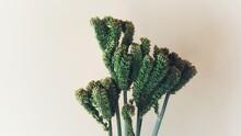 Ragi Plant