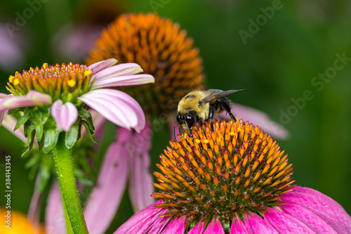 Canvas Print Bumble bee feeding on nectar from purple coneflower wildflower