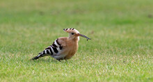 Hoopoe Feeding On A Cricket Pitch In Yorkshire, A Rare And Exotic Visitor